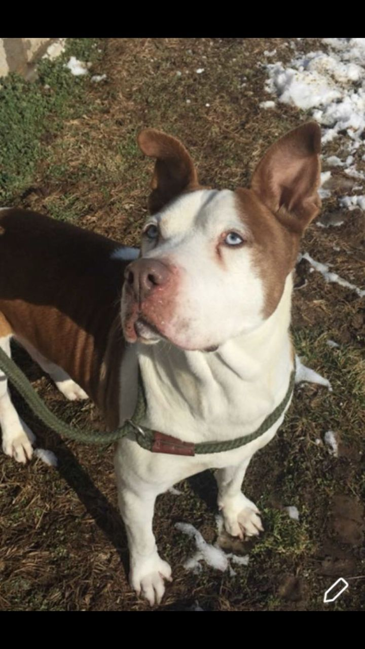 Rooney-SPONSORED!!, an adopted Pit Bull Terrier Mix in Franklin, KY