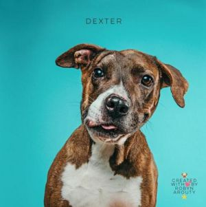 Dexter approximately 8 years old came into a rescue which no longer exists as a severe cruelty c