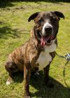 Cane Corso Mastiff Dog: Edgar