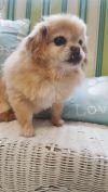 Pekingese Dog: Rosie