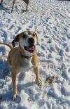 Labrador Retriever Dog: Harley