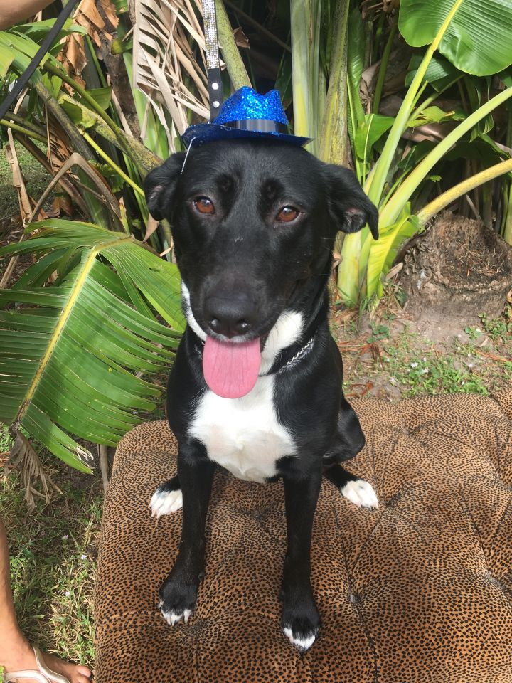 Storm, an adoptable Black Labrador Retriever Mix in Boca Raton, FL