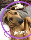 Shar Pei Dog: Honey2