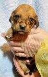 Beagle Dog: Abe