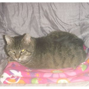 Little Bear is male brown tabby He was found wandering around in our founders b
