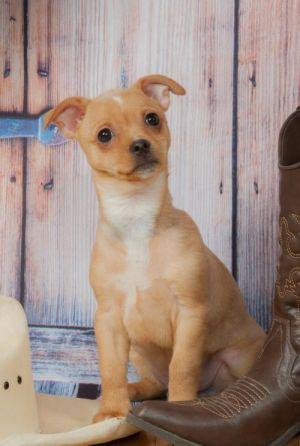 Blondie Welsh Pup2