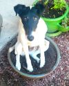 Smooth Fox Terrier Dog: Ace