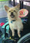Cairn Terrier Dog: Carson