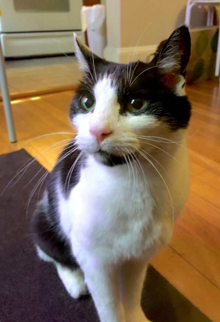 Puddy, an adopted Domestic Short Hair in Brookline, MA