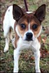Jack Russell Terrier Dog: Keifer (Courtesy)