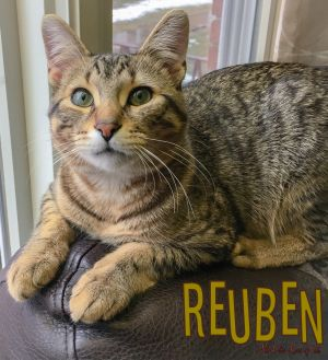 Reuben is a loving tabby cat and about a year old He loves to snuggle up and g