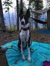 Ibizan Hound Dog: SAM 2