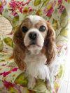 Cavalier King Charles Spaniel Dog: Honey