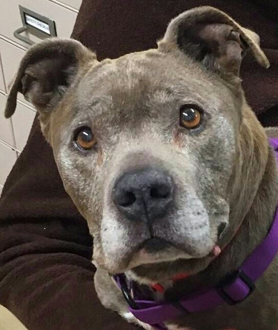 SAL - Older Gentleman!, an adopted Pit Bull Terrier Mix in Edison, NJ