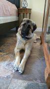 "Anatolian Shepherd Dog: TEXAS, DALLAS; *NEEDS FOSTER* ""FARRAH"""