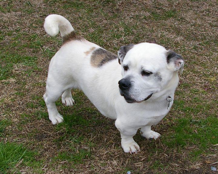 Dog For Adoption Mack A34546193 An English Bulldog Basset Hound
