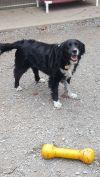 English Springer Spaniel Dog: Elizabeth