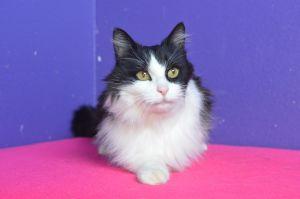 Luna Domestic Medium Hair Cat