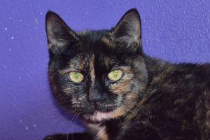 Kitty Tortoiseshell Cat