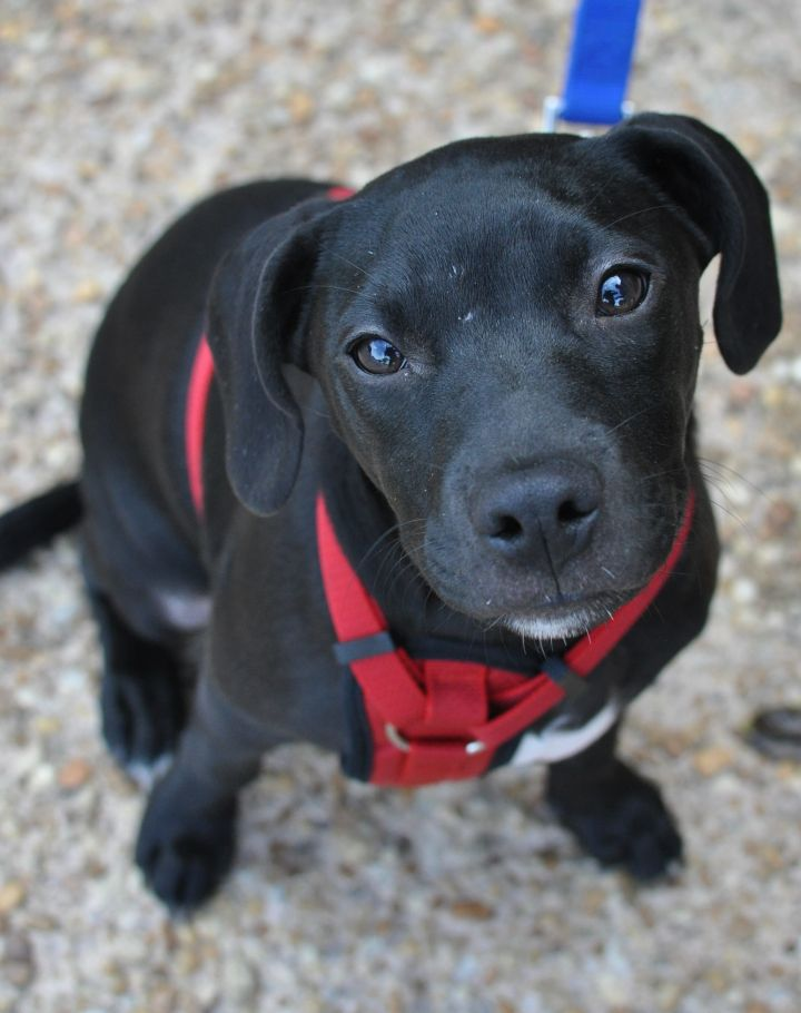 Cheech, an adopted Labrador Retriever Mix in Atlanta, GA