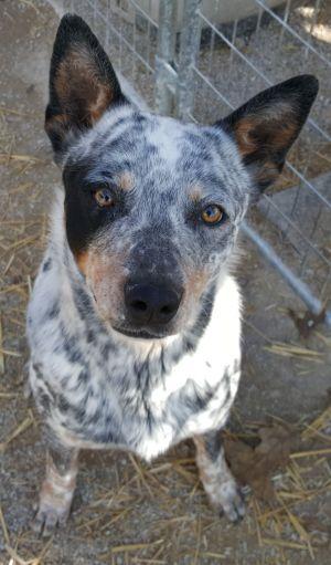 Dog for adoption - Cisco, an Australian Cattle Dog / Blue