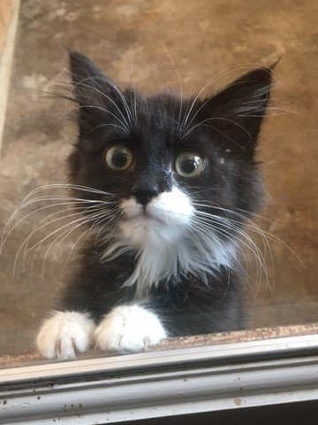 Kittens! Kittens!, an adoptable Domestic Short Hair in Springfield, OR