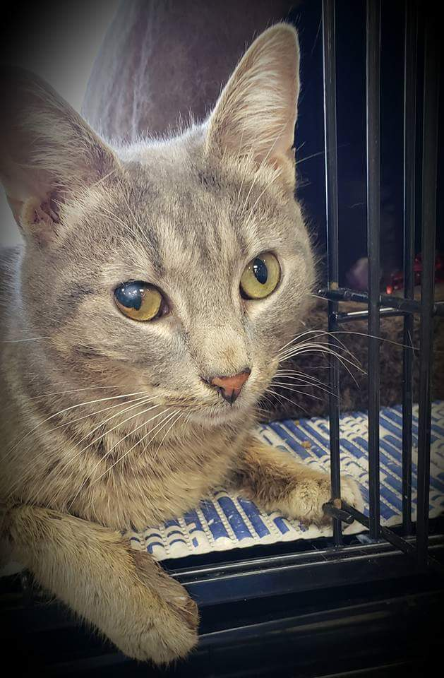 Hanover, an adoptable Domestic Short Hair in Fredericksburg, VA