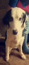 Bernese Mountain Dog Dog: Natsu