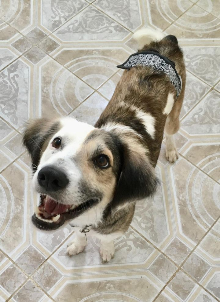 Mickey, an adopted Australian Shepherd Mix in Agua Dulce, CA