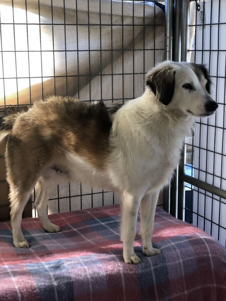 Mickey, an adoptable Australian Shepherd Mix in Agua Dulce, CA