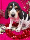Foxhound Dog: Baby Prancer