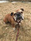 Bull Terrier Dog: Roxy