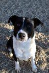 Bernese Mountain Dog Dog: Cheerio