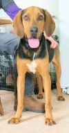 Black and Tan Coonhound Dog: Very Bonnie (GA)