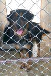 Bernese Mountain Dog Dog: Rufus