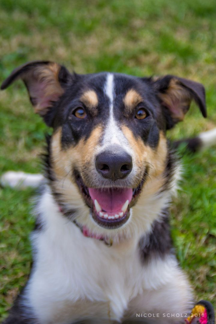 Ryman, an adopted Collie Mix in Thompson's Station, TN