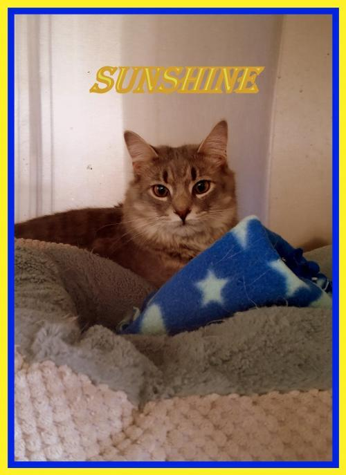 Sunshine, an adoptable Domestic Medium Hair Mix in Berkeley Springs, WV