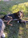 Bloodhound Dog: Pebbles