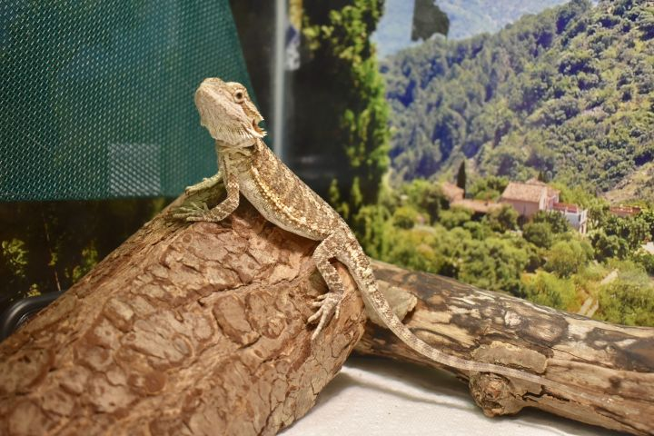 Bailey, an adopted Bearded Dragon in Burlingham, NY