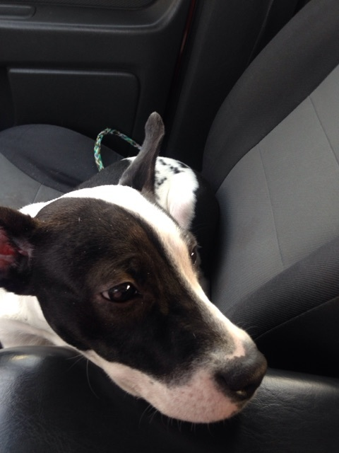 Freska, an adoptable Bull Terrier & Border Collie Mix in Jacksonville, FL