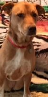 Yellow Labrador Retriever Dog: Gumbo