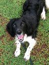 English Springer Spaniel Dog: Maverick