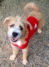 Welsh Terrier Dog: SHAGGY