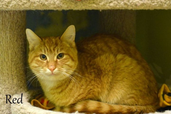 Red, an adoptable Tabby in Carneys Point, NJ