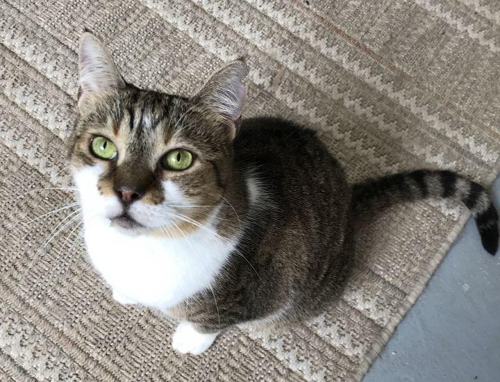 Grey Maine Coon Cat Short Hair Best Cat Wallpaper