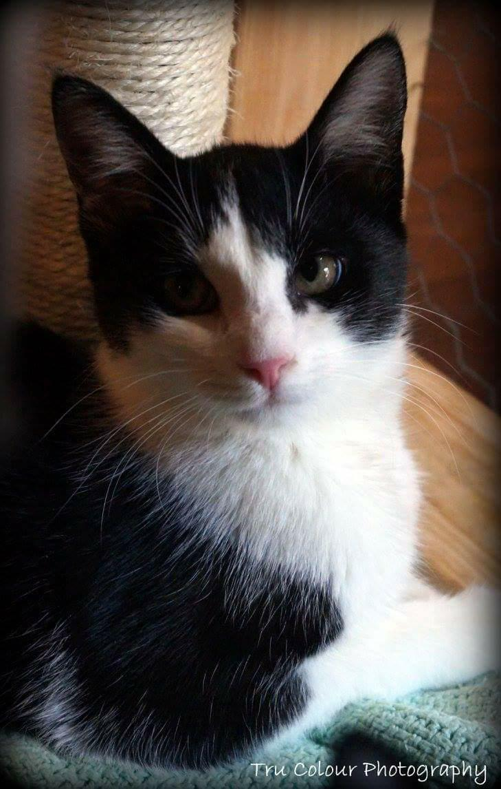 Cat for Adoption – Embrion, near Defuniak Springs, FL | Petfinder