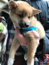 Shiba Inu Dog: Brutus