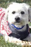 Silky Terrier Dog: DaVinci