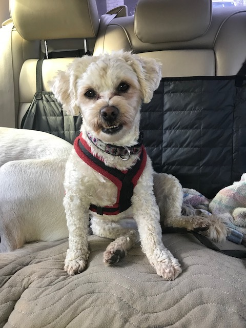 Nina, an adoptable Poodle Mix in Fremont, CA