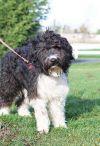 Australian Terrier Dog: Shaggy